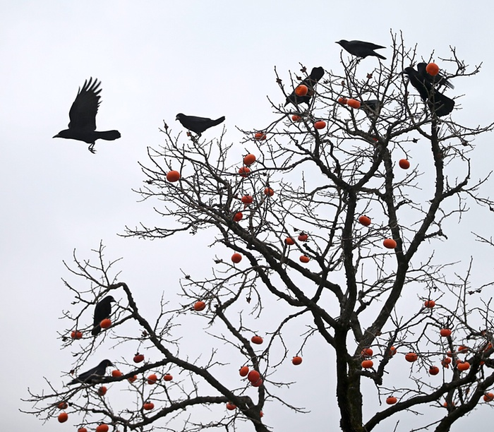crows feast on persimmon fruits in Ulsan, South Korea, fot YONHAP_EPA