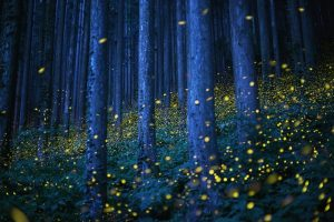 Swarms of fireflies illuminate the undergrowth in a forest on Shikoku,Japan,fot Kei Nomiyama